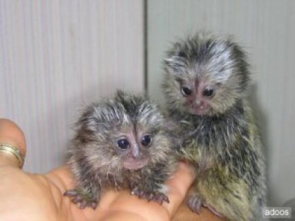 marmoset monkeys