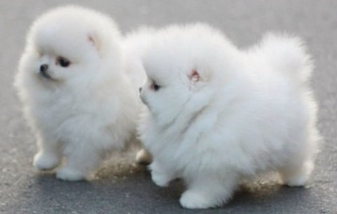 nice Pomeranian puppies for sale