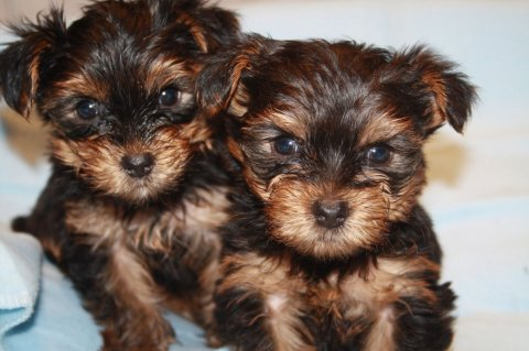 Beautiful Litter Of Yorkshire Terrier Puppies Ready