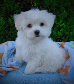 Standard Size Maltese Puppies