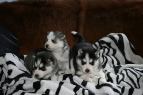 صور Siberian Husky Puppies for free adoption 1
