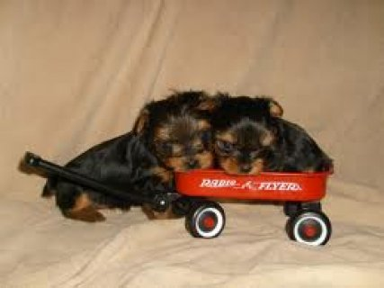 WELL TRAINED YORKSHIRE TERRIER PUPPIES FOR YOUWELL TRAINED YORKS