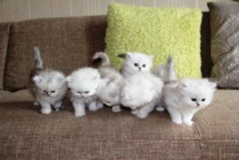 xmas love persian kittens available now for adoption