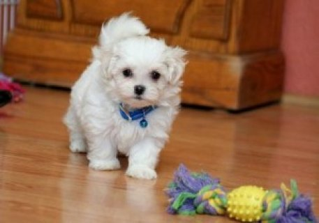 Maltese Puppies for Adoption