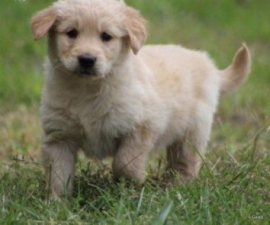 Plaful and Charming Golden Retriever Puppies Seeking New Homes