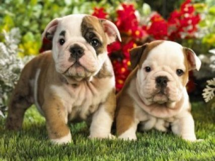 Excellent English Bulldog Puppies For Adoption