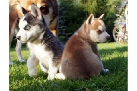 Male and Female Siberian Husky Babies Ready,