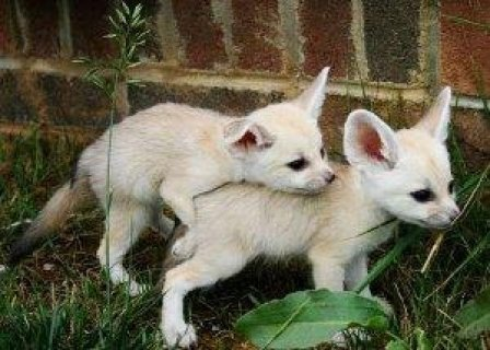 fennec fox,cheetah available for sale.