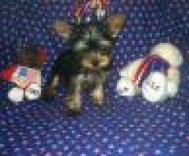 Micro-chipped Registered Teacup Yorkies