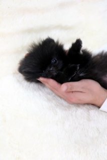 Perfect Black Tea-Cup Pomeranian Puppies