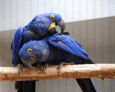 well tamed hyacinth Macaws