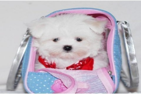 Best Maltese Puppies