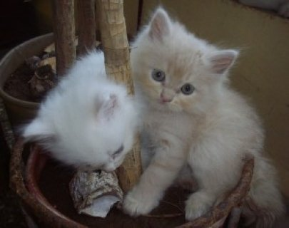 Persian Cat For good homes