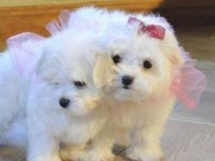 Beautiful Maltese Puppies looking for good homes