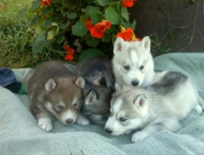 Male and Female husky Puppies for Sale