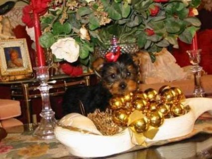 AKC Pure Breed Yorkshire Terrier Puppies Available(HOME)