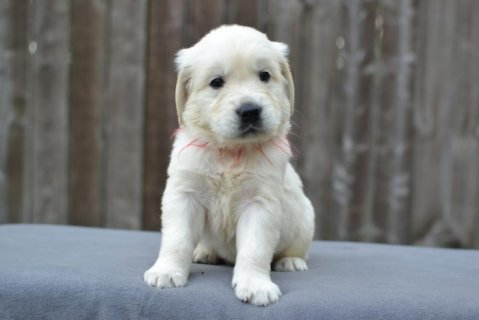 Amazing white Golden Retriever Puppies