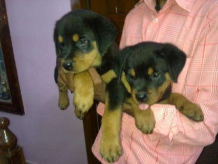 صور Rottweiler Puppies Available	 1
