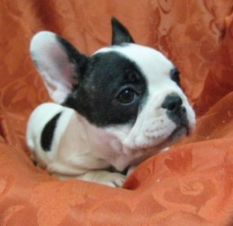 Colorful Fawn French Bulldog Puppies!!!