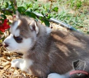 Siberian Husky (AKC) 50% Off The Regular Price;Now Only