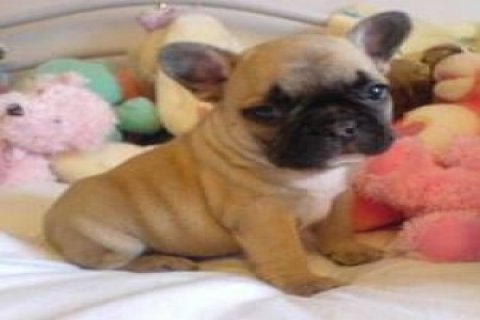 both home and potty trained akc registerd French bulldog puppies