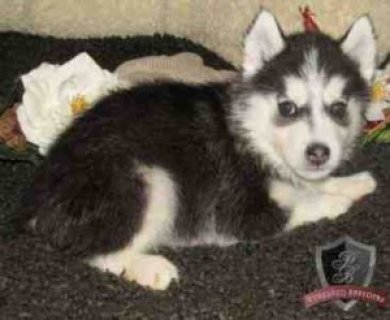 Siberian Husky Puppies Is the Best For your Family for Free
