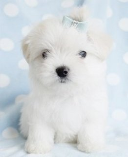 Lovely Maltese Puppies