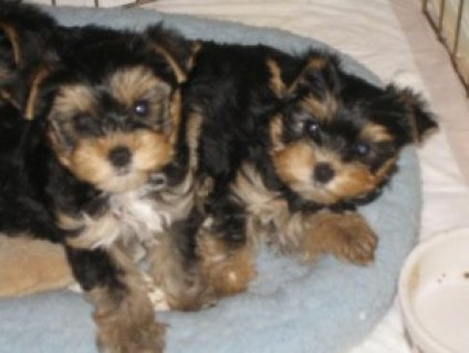 Two Friendly Yorkie Puppies