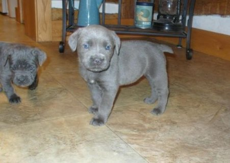 Registered Cane Corso Pup