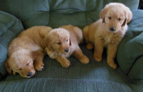 cute akc Golden Retriever