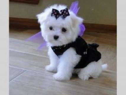 Maltese Puppies looking for a good home
