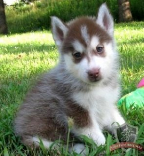 Akc princess Siberian Husky Puppy this year