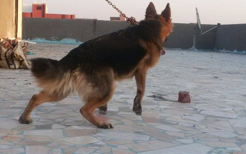 dog german?فرصه لمده يومين ,,,