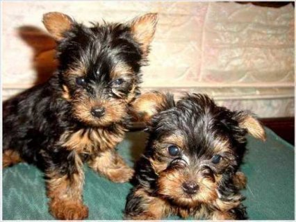 Adorable Yorkshire Terrier Puppies For Adoption