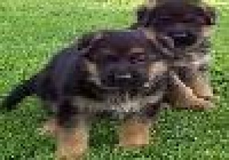 German Sheperd Puppies Now Available