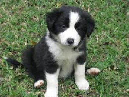 baby collie
