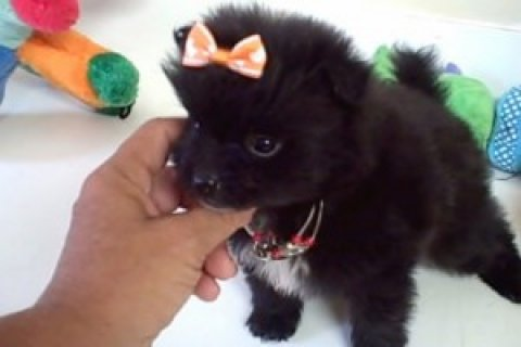 Black Teacup Pomeranian Puppies for Re-homing,,,,,,