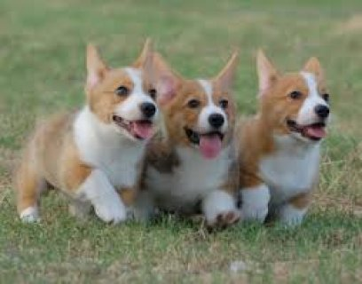 puppies corgi