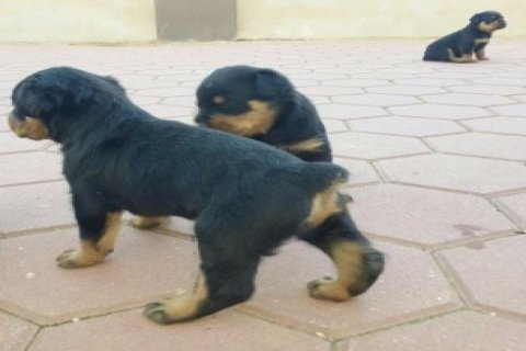 lovely Rottweiler puppies for adoption