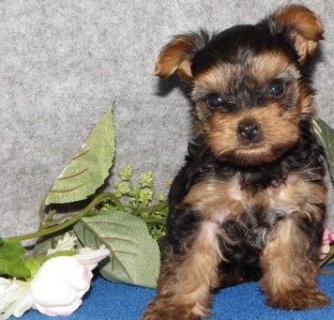 lovely Male and Female Teacup Yorkie puppies here which i am giv