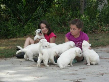 صور   beautiful White German Shepherd Puppies  1