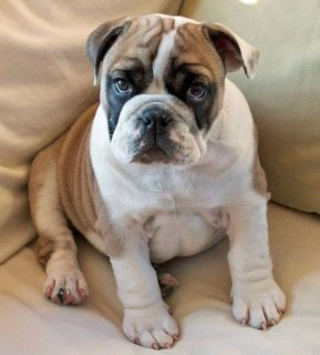 صور  Cute, Pretty And Trained English Bulldogs Available For Rehomin 1