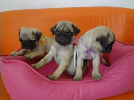 Kiara Cute Pug Puppy for Sale Queens.contact us with any questio