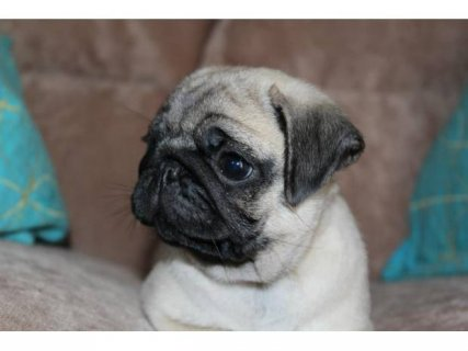 CUTE - AKC Male Pug Puppy For Sale in San Diego.contact us with