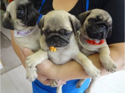 """AKC Pug Male Fawn \""""Ren\"""" Champion Lines...contact us with any que"""