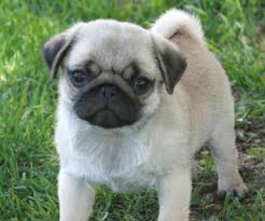 Playful & Petite Female Pug...contact us with any questions.