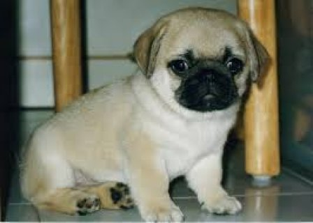 "AKC Pug Male Fawn ""Mack\"" Champion Lines.!!!!contact us with any"