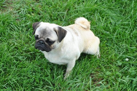 Adult Pug Girl...contact us with any questions.