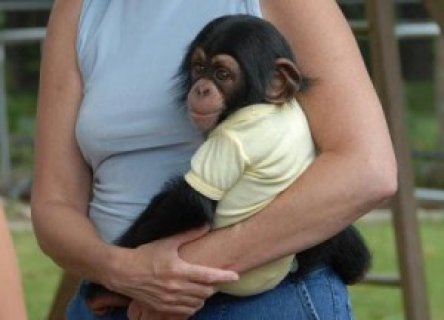 cute adorable baby chimpanzee
