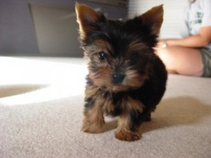 Re-homing* Yorkshire terrier teacups PUPPIES (M&F)